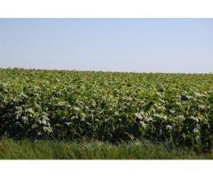 Семена подсолнечника сорт Скороспелый 87