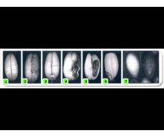 Услуга по рентгенографическому анализу семян