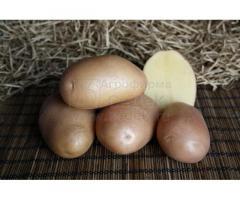 Семенной картофель АЖУР (элита, суперэлита) от СеДеК