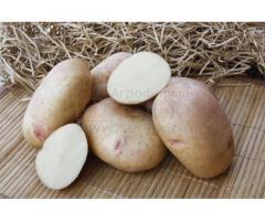 Семенной картофель АЛЕНА (элита, суперэлита) от СеДеК