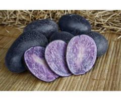 Семенной картофель МАЙАМИ (элита) от СеДеК