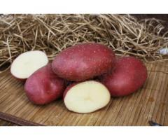 Семенной картофель МАЯК (элита, суперэлита) от СеДеК