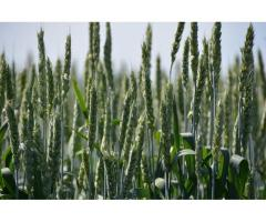 """Семена озимой пшеницы """"Алексеич""""."""