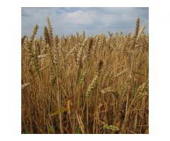 """Семена озимой пшеницы """"Безостая 100""""."""