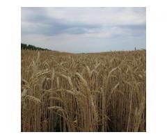 """Семена озимой пшеницы """"Гром""""."""