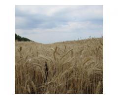 """Семена озимой пшеницы """"Губернатор Дона""""."""