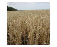 """Семена озимой пшеницы """"Донэко""""."""