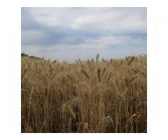 """Семена озимой пшеницы """"Ермак""""."""
