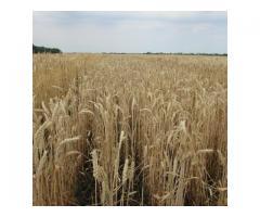 """Семена озимой пшеницы """"Льговская 4""""."""