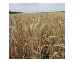 """Семена озимой пшеницы """"Скипетр""""."""