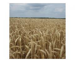 "Семена озимой пшеницы ""Снигурка""."