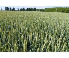 Продажа семян озимой пшеницы Льговская 4, Льговская 8