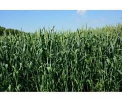 """Семена озимой пшеницы """"Гурт""""."""