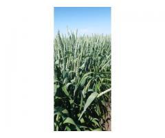 """Семена озимой пшеницы """"Юка""""."""