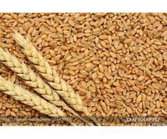 Семена яровой пшеницы сорта Тасос репродукции РС-1 оптовая продажа
