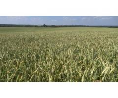 Льговская ОСС предлагает семена озимой пшеницы Льговская4 и Льговская8